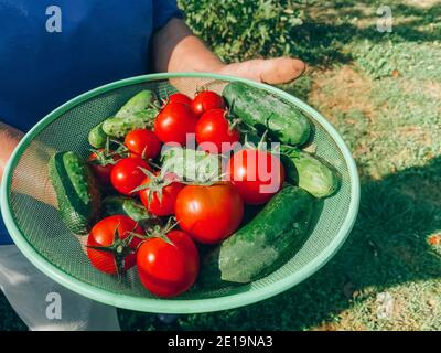 Female farmer holding a bowl filled with homegrown fresh vegetables - organic tomatoes and cucumbers at the home garden. Growing tomatoes in the