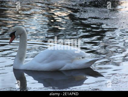 Beautiful, elegant swan swimming in a dark lake. Wildlife and the seasons. Wildlife (swans) in public parks, United Kingdom. - Stock Photo