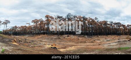 The Chiberta forest a few weeks after the fire, in France - Stock Photo