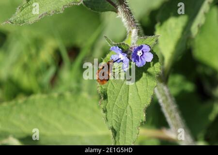 Green alkanet, Pentaglottis sempervirens, blue flowers with bee fly, Bombylius major, hovering and feeding on nectar with a blurred leafy background.