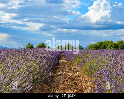 Blooming lavender field on Valensole plateau in France, cultivation in rows, closeup of the stony ground, tree row behind, blue sky with clouds
