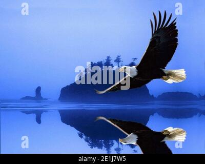 Eagle flying in search of prey