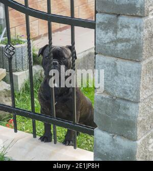black boxer dog watchdog standing in the garden behind iron fence bars, guarding the house - Stock Photo