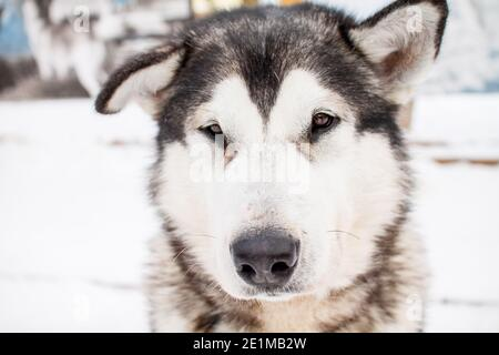 Portrait of a beautiful northern dog of the husky breed.