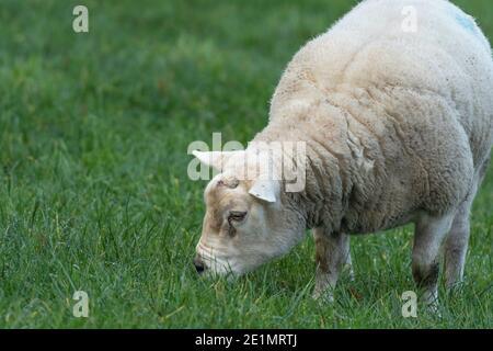 A ram grazing n a field on a Yorkshire farm.