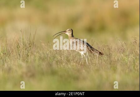 Curlew, Scientific name: Numenius arquata.  Adult Eurasian curlew facing left and calling with beak open in natural grassland habitat.  Landscape