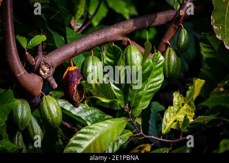 View of cacao fruits hanging in a cacao tree. Yellow color cocoa fruit (also known as Theobroma cacao) Stock Photo