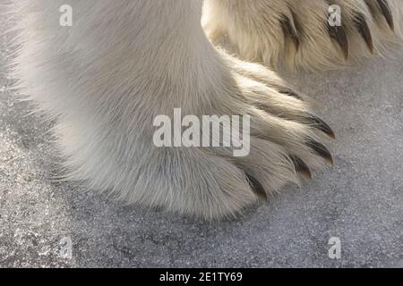 View of the front paws and claws of an adult polar bear on ice in the wild - Stock Photo