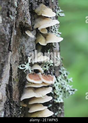 Gloeoporus dichrous, known also as Gelatoporia dichroa, Bicoloured Bracket fungus, wild polypore from Finland - Stock Photo