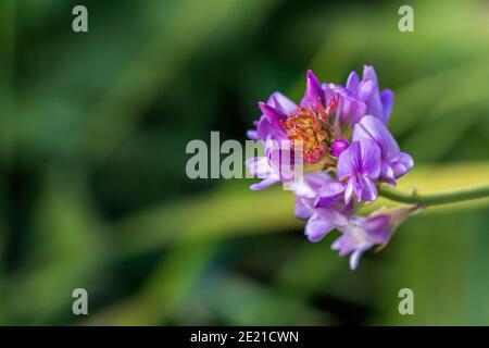 Bituminaria bituminosa, Arabian Pea Plant in Flower
