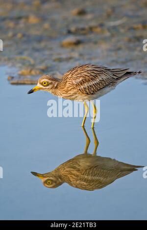 Eurasian Stone-curlew (Burhinus oedicnemus) adult standing in pond with water reflexion, Mallorca, Spain - Stock Photo