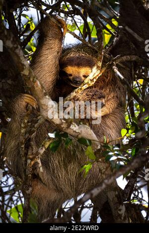 3 toed brown throated sloth with baby hanging peacefully in a tree