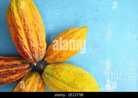 Fresh and ripe bright yellow orange cocoa pods or Theobroma cacao tree fruit in flat lay in blue background with copy space. Stock Photo