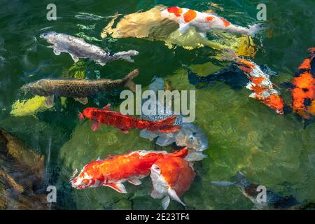 Movement group of colorful koi fish in clear water. This is a species of Japanese carp in small lakes in the ecological tourist attractions.