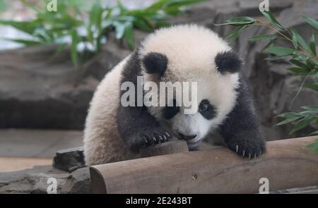 Berlin, 14.02.2020: Zwei Wochen nach dem Einzug der Pandas in ihr neues Gehege kehrt Normalität ein. Die Zwillinge Meng Xiang und Meng Yuan alias Pit