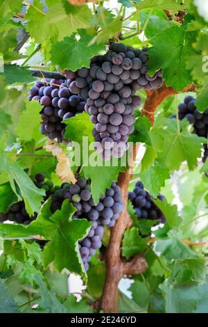 Vitis Vinifera 'Dornfelder'. Grape 'Dornfelder'. Red eating / Wine Grapes, bunches growing on the vine, - Stock Photo