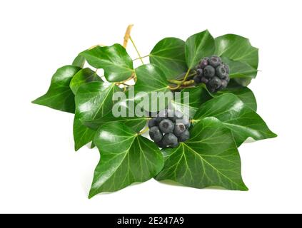 Ivy branch with berries isolated on white Stock Photo