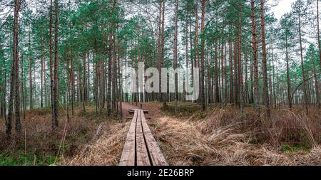 Panoramic view of coniferous forest with pine trees and wooden path in autumn. Beautiful forest landscape.