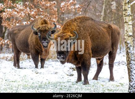 European bison (bison bonasus)in the Białowieza Forest  in winter day - Stock Photo