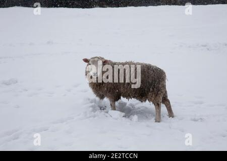Single sheep Ovis aries in thick snow on an upland farm in Yorkshire during January