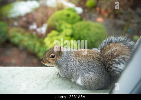 Grey Squirrel (Sciurus carolinensis) sitting on upstairs exterior windowsill looking down over garden (photograph taken from inside) - Scotland, UK Stock Photo