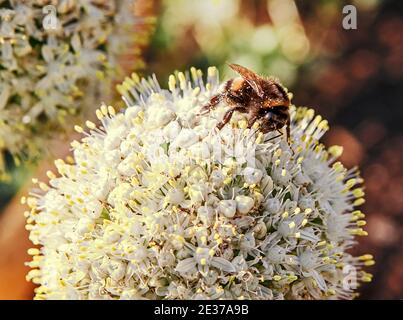 Bee collects pollen from flower and pollinates plant. Selective focus Stock Photo