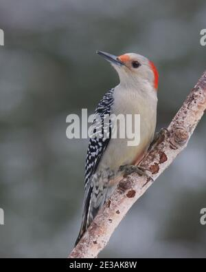 Female red bellied woodpecker Melanerpes carolinus perching on a branch  in Winter - Stock Photo