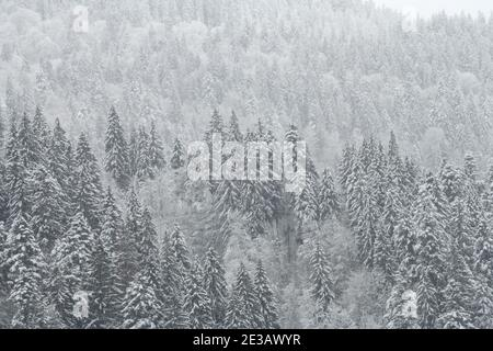 Winter fir and pine forest covered with snow after strong snowfall. Beautiful landscape