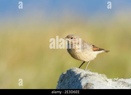 Close up of a juvenile Northern wheatear (Oenanthe oenanthe) perched on a rock against green background in summer, Scotland, UK. - Stock Photo