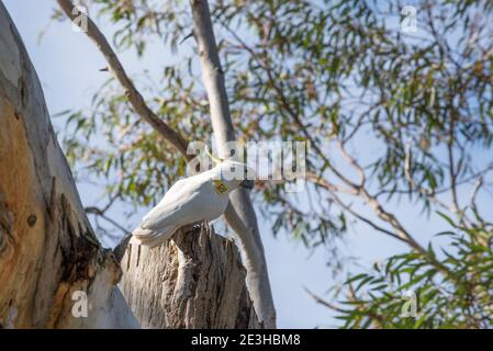 A 2017 image of a numbered (052) Sulphur-Crested Cockatoo (Cacatua galerita) in the Royal Botanic Gardens, Sydney. Big City Birds research project