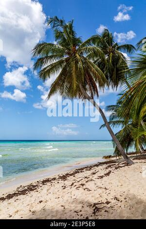 A palm tree on a sandy Caribbean beach, with the turquoise ocean behind - Stock Photo