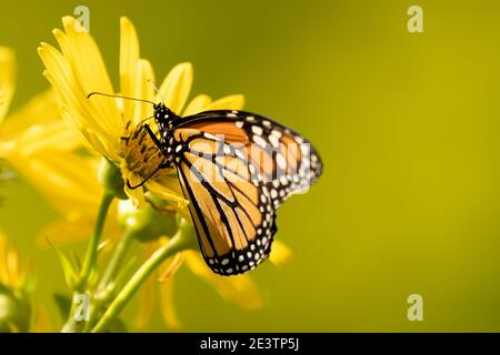 Monarch butterfly (Danaus plexippus) feeds on yellow flower. Monarch butterfly population moves closer to extinction