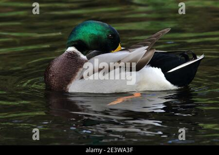Anas platyrhynchos, a male Mallard duck preening on a pond with rippled rings of water around it. The bird green head and curly tail can be seen