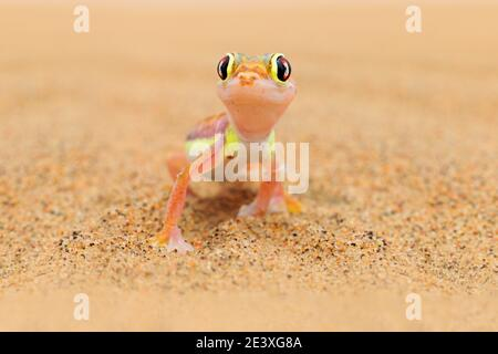 Gecko from Namib sand dune, Namibia. Pachydactylus rangei, Web-footed palmato gecko in the nature desert habitat. Lizard in Namibia desert with blue s - Stock Photo