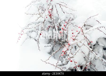 Red berries hawthorn under the snow. Copy space.