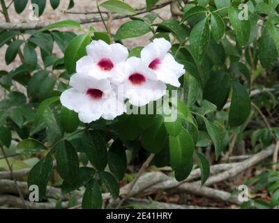 Bower Vine, Bower Plant, Jasmine (Pandorea jasminoides), blooming, Spain, Balearic Islands, Majorca