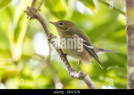 bay-breasted warbler (Setophaga castanea, Dendroica castanea), First-winter female perched in a laurel tree, Azores, Corvo - Stock Photo