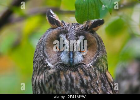 Close-up portrait of long-eared owl (Asio otus / Strix otus) perched in tree in forest Stock Photo