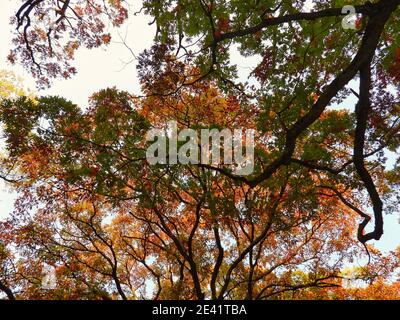 Autumn in the forest: Looking up at an oak tree with different fall colored leaves on a bright sunny day