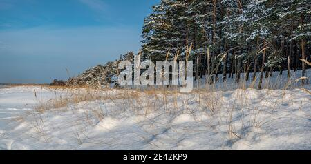 Yellow grass covered in snow in North Sea beach and dunes. Snow covered dunes near coniferous forest.
