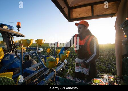 Workers harvest savoy cabbages at TH Clements near Boston in Lincolnshire. Picture date: Friday January 22, 2021.
