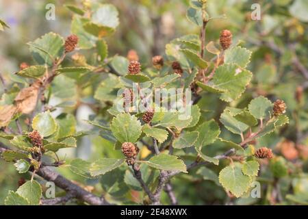 Fjellbirke, Fjell-Birke, Fjällbirke, Fjäll-Birke, Moor-Birke, Moorbirke, Haar-Birke, Besen-Birke, Behaarte Birke, Betula pubescens ssp. tortuosa, Be - Stock Photo