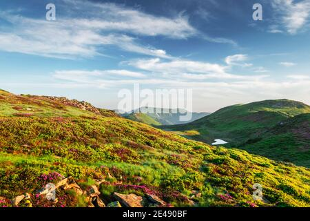 Small heart-shaped mountain lake on green slopes covered with pink blooming rhododendron flowers. Fluffy cloud in the blue sky. Summer mountains landscape