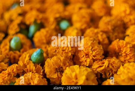 Plucked orange colored Marigold flowers - Stock Photo