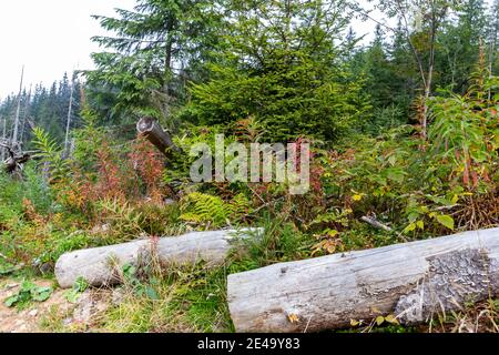 Dry rotten tree trunks lying in a forest litter among mountain pine trees, spruces, fern and herbs. - Stock Photo