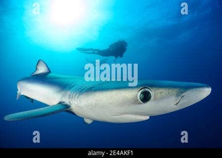 Blue shark (Prionace glauca) and diver, Cape of Good Hope, South Africa, offshore in the Atlantic