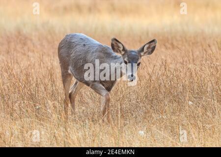 Female mule Deer Odocoileus hemionus, Yosemite National Park, California, USA