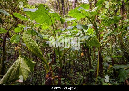 Lush cloudforest in La Amistad national park, Chiriqui province, Republic of Panama.
