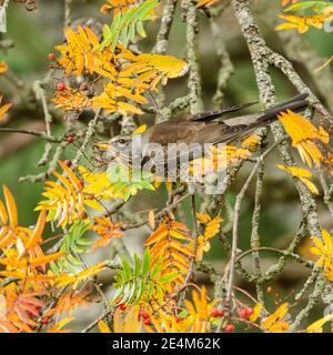 Fieldfare feeding in Mountain Ash in autumn