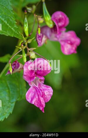 Himalayan Balsam, impatiens glandulifera, flowers close up. It originates from the Himalayes and is now an invasive flowering plant in the UK Stock Photo